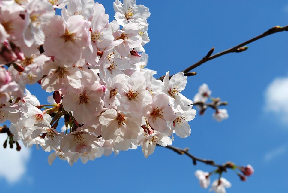 cherry-blossoms-1265247_960_720.jpg